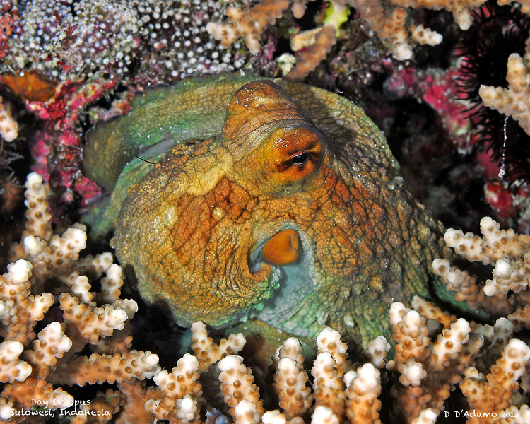Octopus, Sulawesi