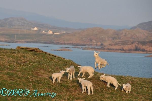Schafe auf Iona