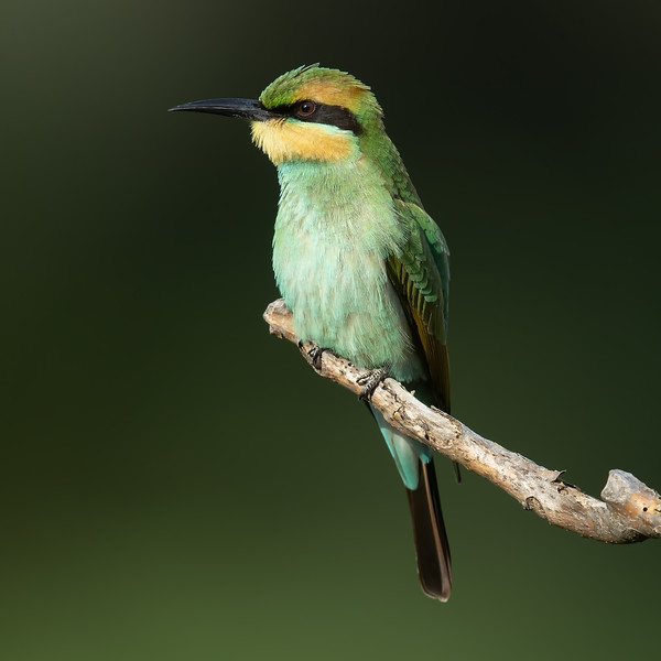 Green Bee-eater juvenile