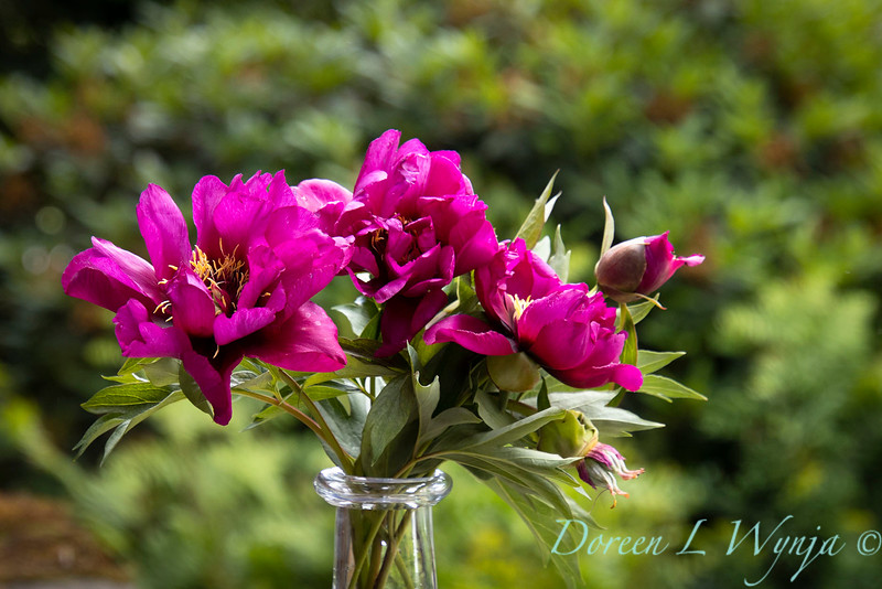 6858 Peaonia x 'Morning Lilac' cut flowers in a vase_1059.jpg