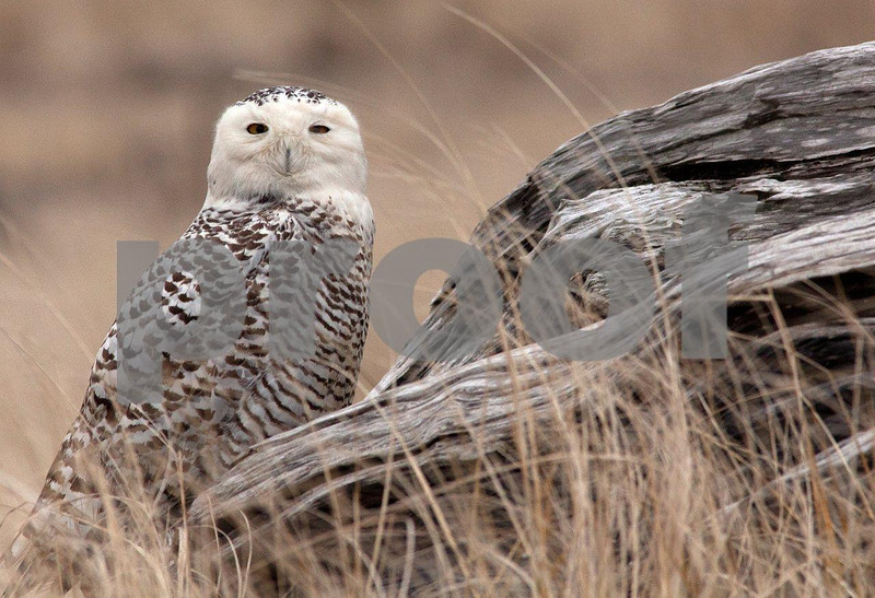 Snowy owl 5587c.jpg