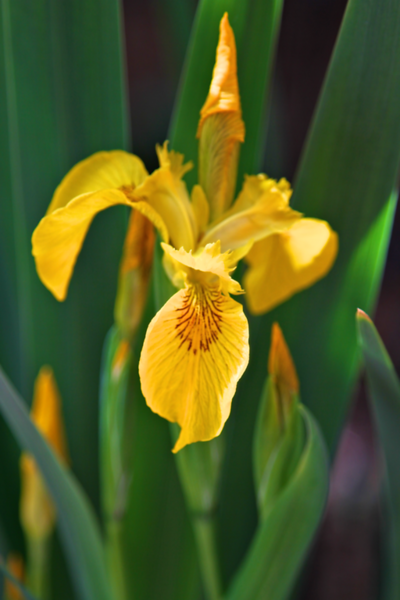 My friend Diana gave me these yellow iris years ago..they reverted to sweet flag type flowers on HUGE 4 foot tall strappy leaves.  I use the plants for year round height in the garden and consider the few flowers a bonus.  I love it!!