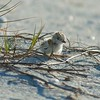 Snowy Plover hatchling in the nest.  Afternoon of April 29, 2013 in Sanibel, Florida.  Snowy Plover babies are precocial, meaning that they are feathered, mobile relatively soon after hatching and feed on their own.
