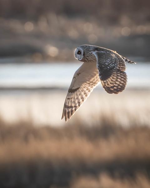_5007037-Edit Short-eared Owl fly by.jpg