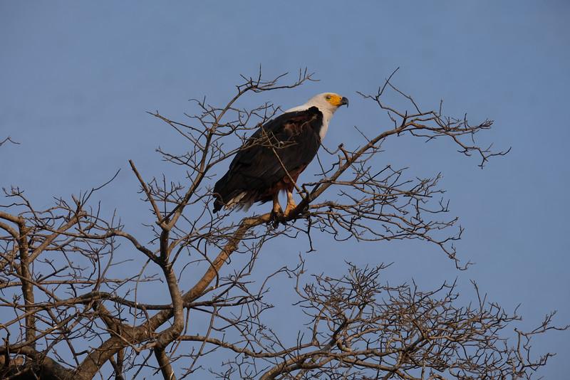 Fishing Eagle Perching