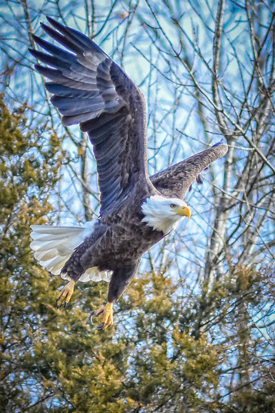 January Bald Eagles at Bagnell Dam