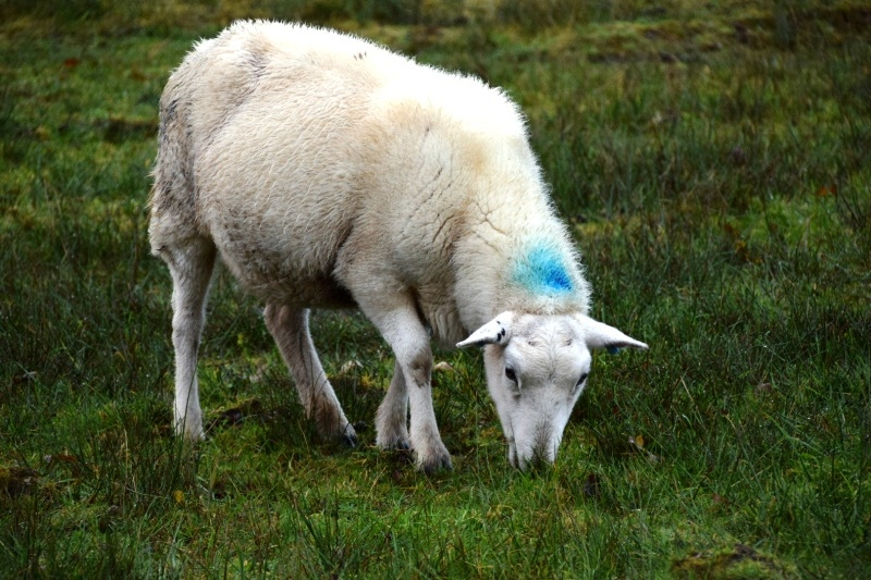white sheep with blue mark on its neck