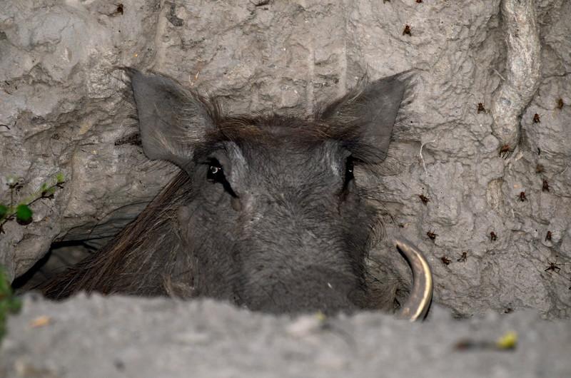 71 - Warthog in termite mound - Chitabe - Anne Davis
