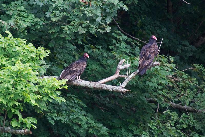 Turkey Vulture 1.jpg