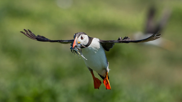 Wildlife Photography - Atlantic Puffins