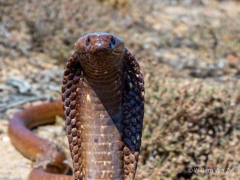 20191020 Cape Cobra (Naja nivea) from Lamberts Bay, Western Cape