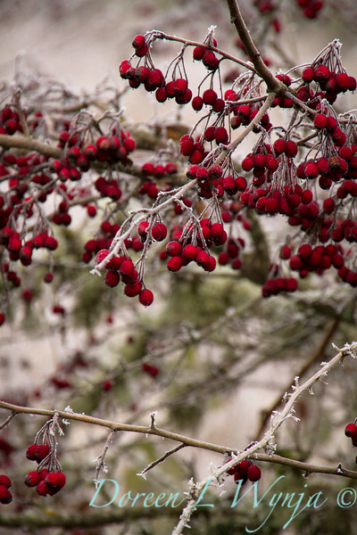 Winter frosted Daucus carota and red berries_9510.jpg