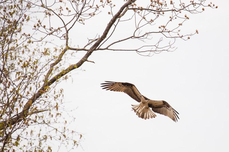 osprey lands-3169.jpg