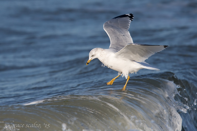 Ring-billed Gull wave running_O8U5923.jpg