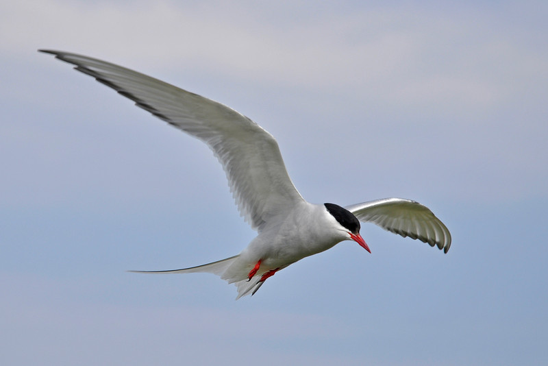 © Felipe 26-06-2010 Arctic tern Farne Islands