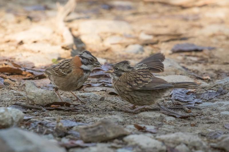Rufous collared sparrow, adult feeding juvenile
