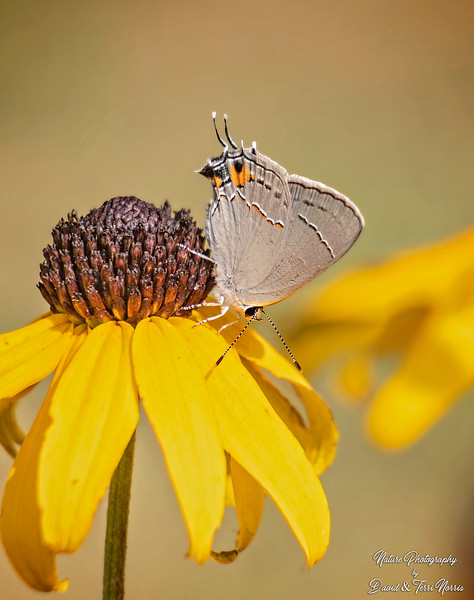 gray hairstreak_TN26046.jpg