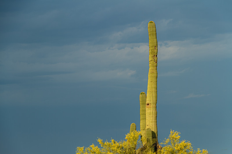 A single saguaro cactus lit by the morning sun with dark storm clouds
