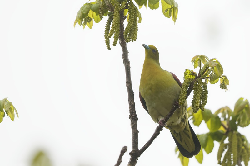 Japanese Green Pigeon
