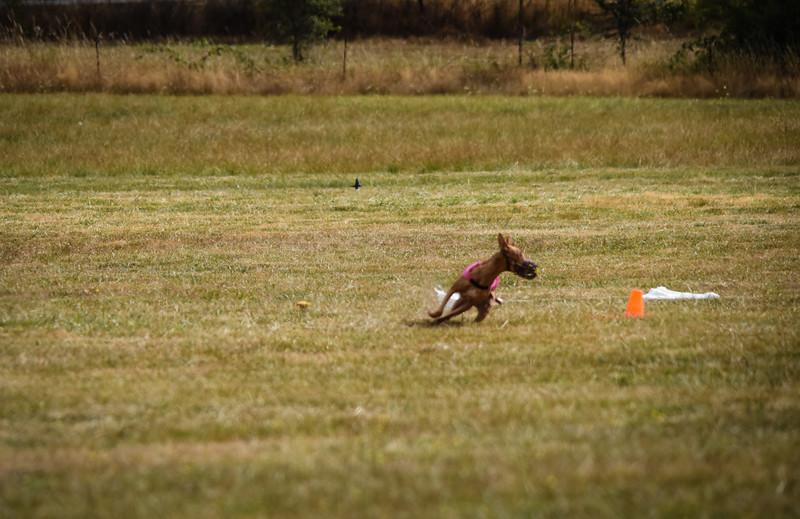 pharoahhound-6.jpg