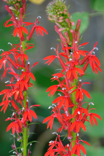 Cardinal Flower (1).jpg