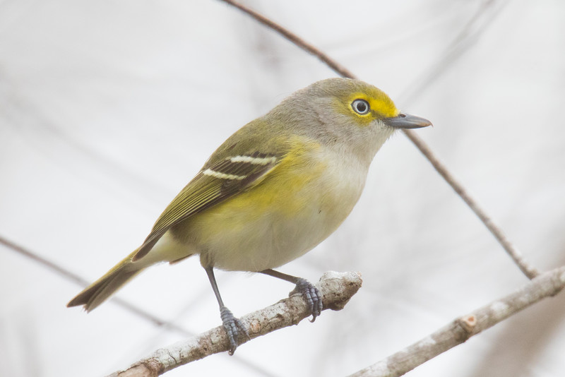 White-eyed Vireo Everglades 2020-3.jpg