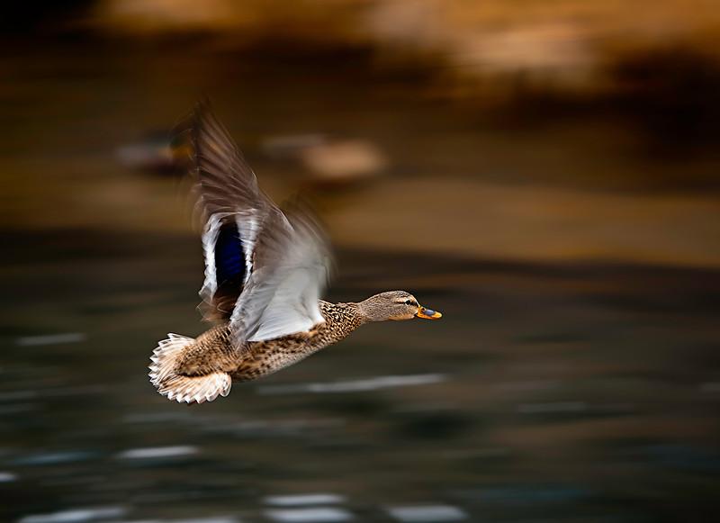 Hen in flight.jpg