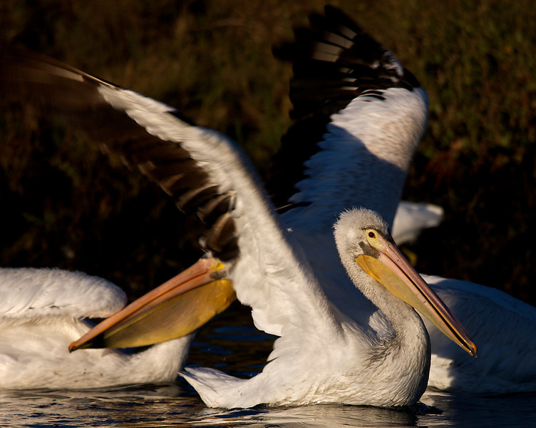 American White Pelicans, morning