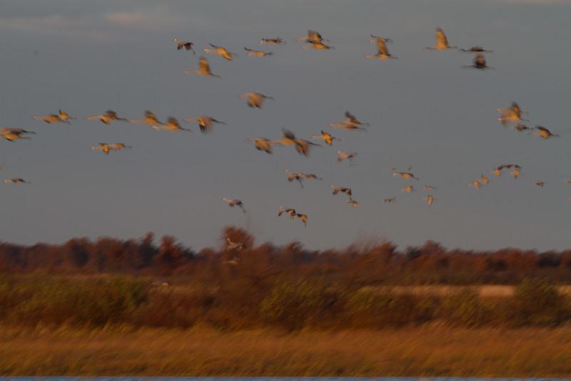 Sandhill Cranes flight flying fly in roost Crex Meadows Grantsburg WI IMG_1813.jpg