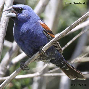 Blue  Grosbeak or Indigo Bunting