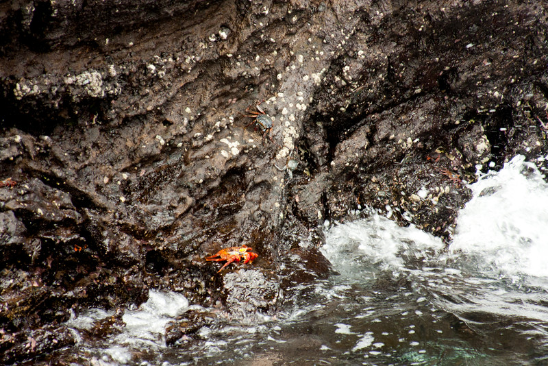 Sally Light Foot Crab on the Rocks : Journey into Genovesa Island in the Galapagos Archipelago