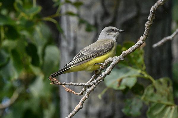8-5-16 Western Kingbird