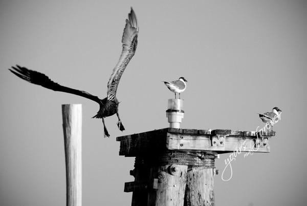 GRAND ISLE BIRDS