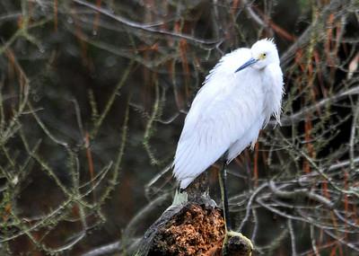Egret - Snowy Egret