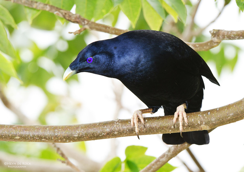 Satin Bowerbird, Lamington NP, Qld, Aus, Nov 2011.jpg