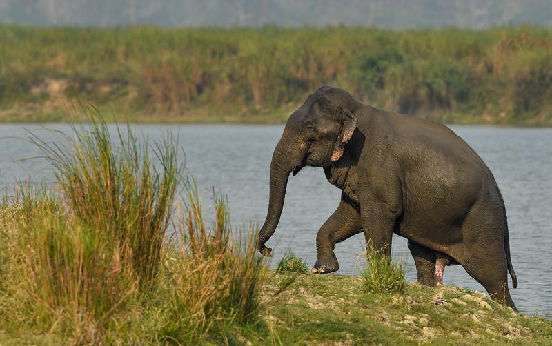 Elephant-swimming-across-lake-kaziranga-14.jpg