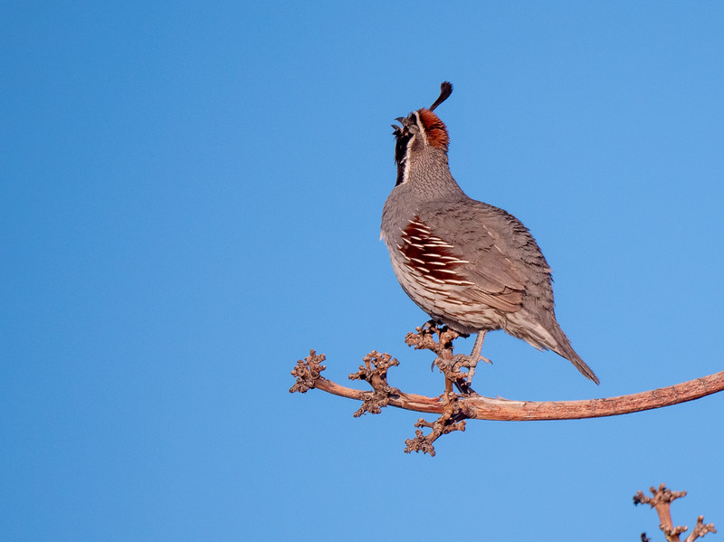 Gambel's Quail singing Foothills Road Chihuahuan Desert Chiricahua Mountains near Portal southeast Arizona June 6-12 2019-1066131.jpg