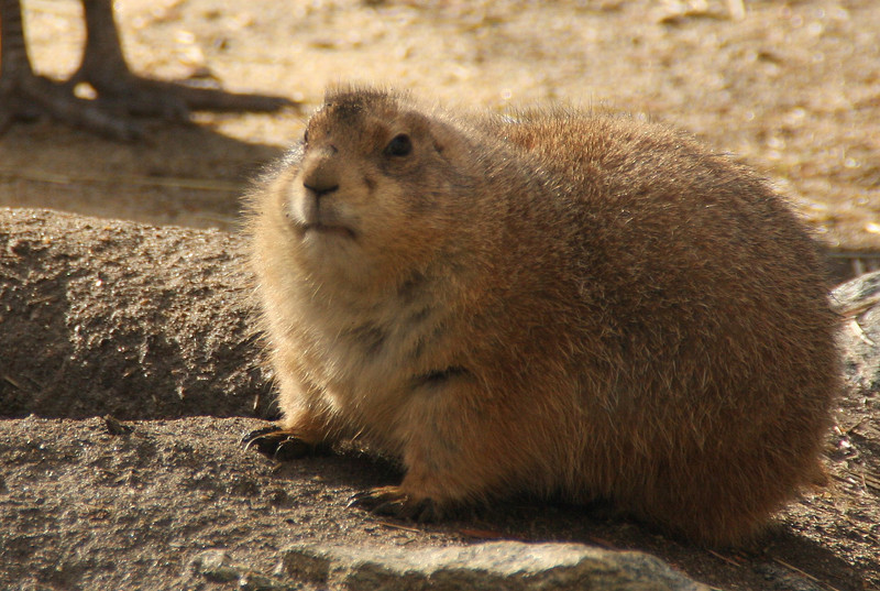 This little prarie dog has really socked it away for winter, hasn't he? Chubby little pup!