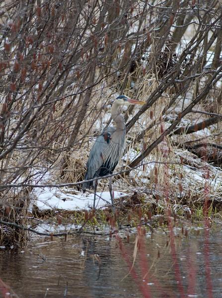 Great Blue Heron near Stone Lake Sax-Zim Bog MN IMG_3533.jpg