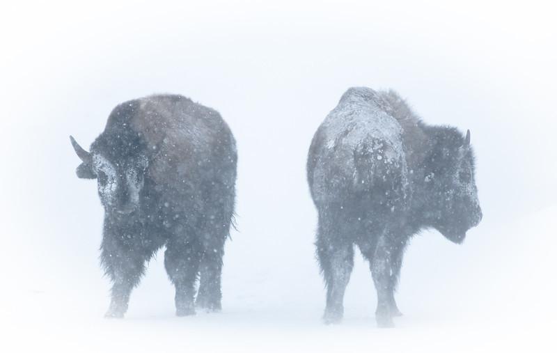 Bison Blizzard