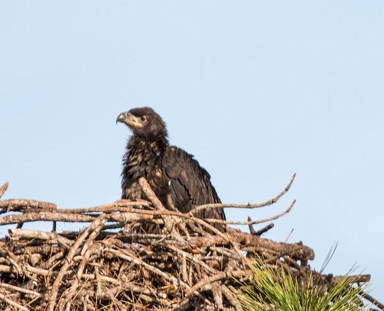 Melbourne Eagle Nest - February 8, 2016