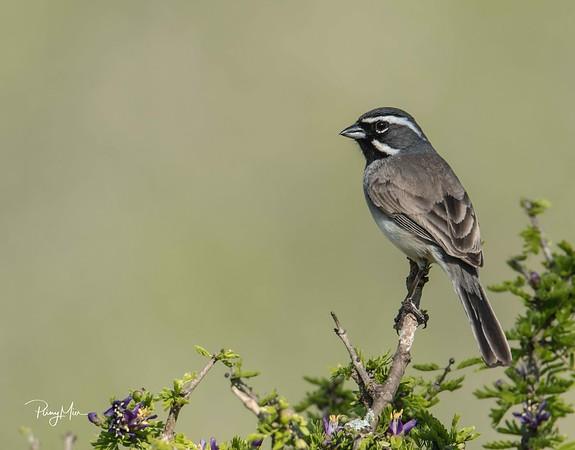Black-chin Sparrow LL-1-SAI-stabilize.jpg