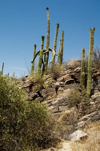Cacti family in desert_Tucson AZ.jpg