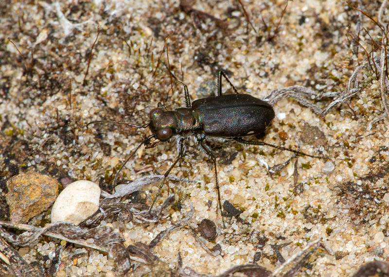 Cicindelidia punctulata Punctured Tiger Beetle Sauk Prairie Recreation Area WI  IMG_0225.jpg