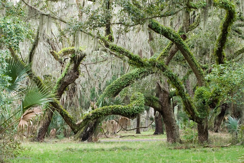 Sapelo Island, live oaks and resurrection ferns