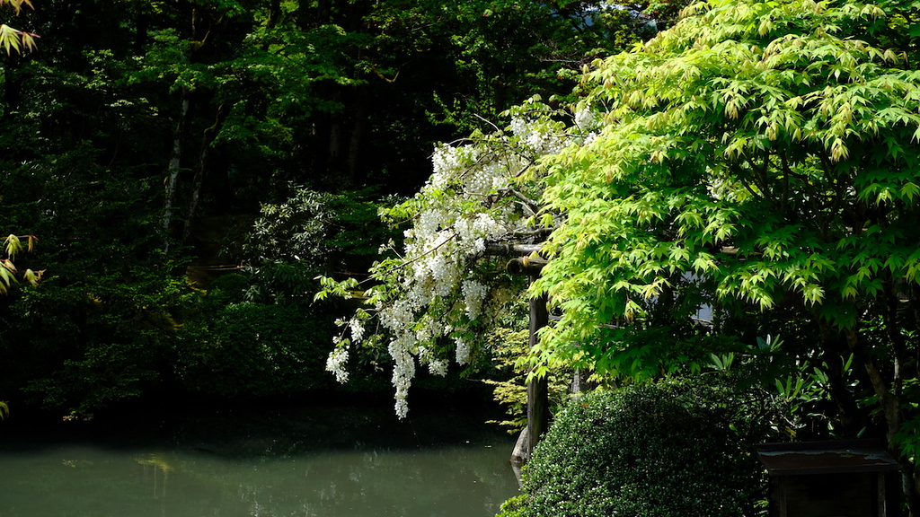 Wisteria at Shoyoen in May.