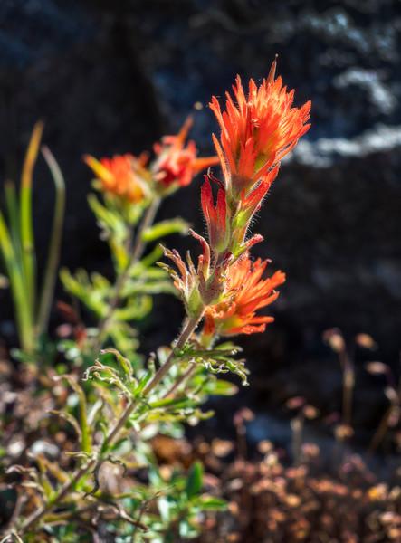 tioga flower.jpg