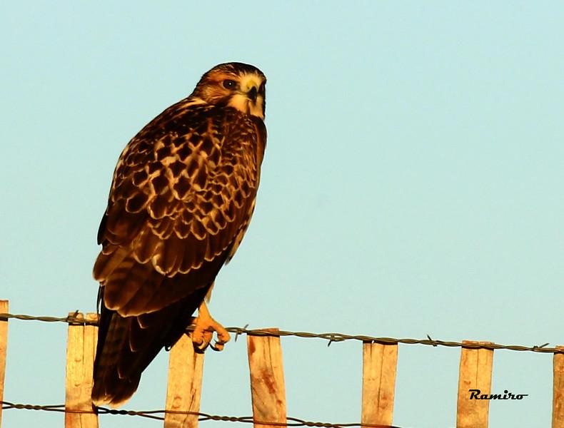 Swainsons Hawk New Mexico July 2015 522.jpg