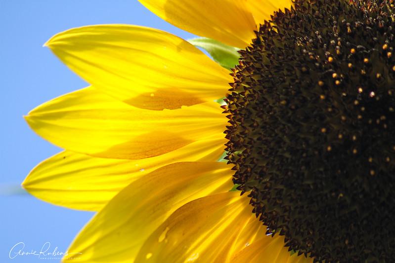 Rubens_IMG_8176 sunflowerpedaldetail.jpg