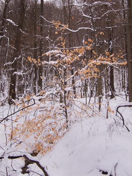 snowy beech 022611.jpg